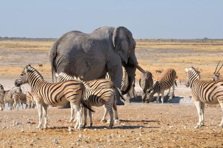 caballo bebe: Elefante y cebras en el Parque Nacional de Etosha, Namibia