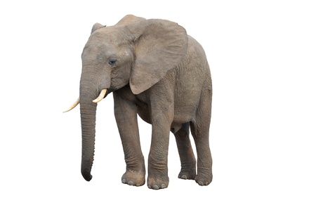 terrestrial mammal: An Elephant from Addo Elephant National Park isolated on white