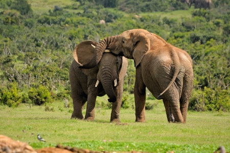 Two Elephants fighting in the Addo Elephant National Park, South Africa