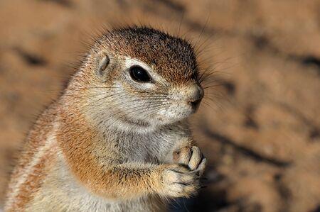 xerus inauris: Cape Ground Squirrel  Xerus Inauris   Photo taken at Mata Mata in the Kgalagadi Transfrontier Park, South Africa