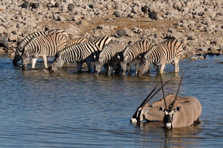 Zebras and Oryx drinking water, Okaukeujo waterhole, Etosha National Park, Namibia