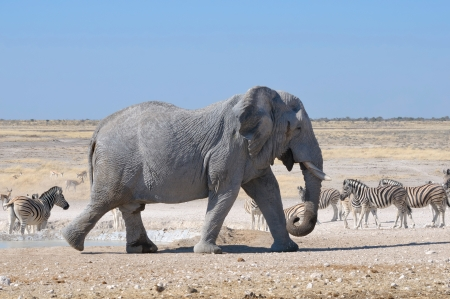 Elephant walking in the Etosha National Park, Namibia photo