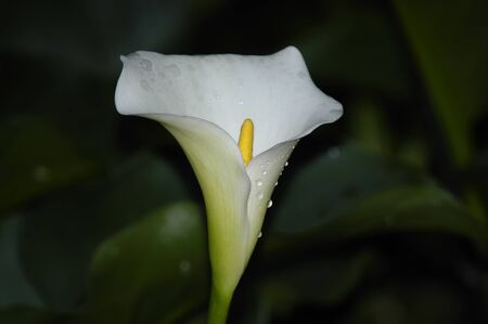 Arum Lily, Zantedeschia aethiopica, endemic to Southern Africa