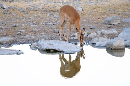 Young, male Impala in the Etosha National Park