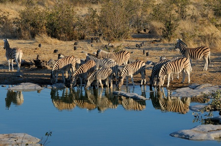 waterhole: Zebras drinking water, Moringa waterhole, Etosha National Park, Namibia Stock Photo