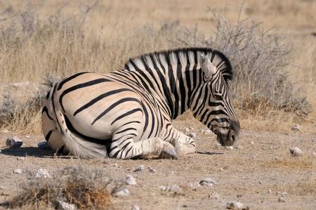 equid: Lonely Zebra lying down, Etosha National Park, Namibia