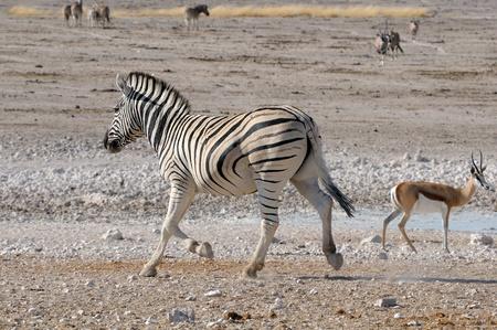 equid: Lonely Zebra running, Etosha National Park, Namibia
