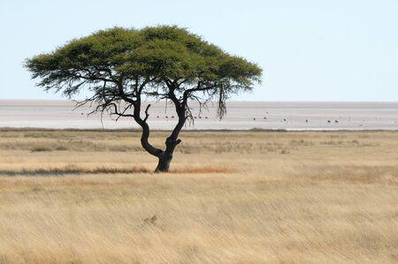 エトーシャ パンで孤独な木の風景 写真素材