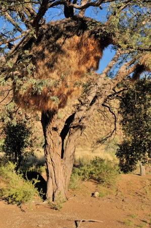 weaver bird nest: Camelthorn Tree with Sociable Weaver community nest