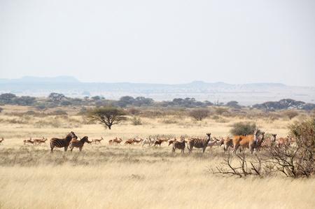 equid: Springbok, Eland, Blesbuck, Zebra at game farm in South Africa Stock Photo