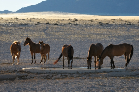 Wild Horses of the Namib at Garub near Aus, Namibia  Stock Photo