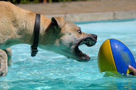 boerboel dog: Dog playing with ball in swimming pool