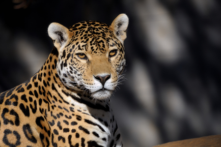 Jaguar, Panthera onca, the third-largest feline after the tiger and the lion