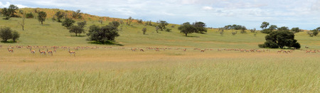 kgalagadi: Panorama with many animals in the Kgalagadi Transfrontier Park
