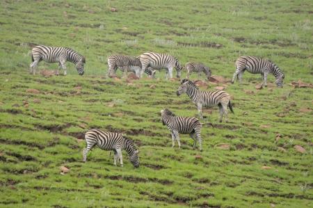 equid: Zebras in the Golden Gate Highlands National Park