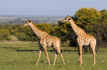 Two Giraffes on grass field in South Africa