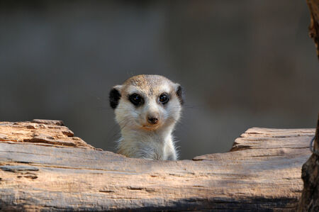 The meerkat or suricate, Suricata suricatta, is a small mammal belonging to the mongoose family  This photo was taken in the Mokala National Park, Northern Cape, South Africa