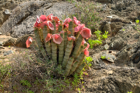 Hoodia gordonii, a medicinal plant, in flower  Ai-Ais - Richterveld Transfrontier Park Stok Fotoğraf - 26867097