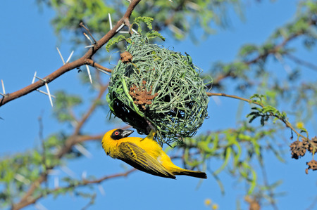 Male Southern Masked Weaver in breading colours building nest photo