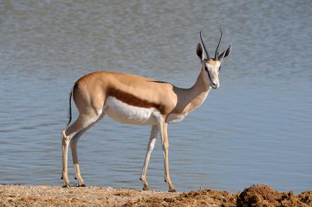 springbok: Solitary Springbok in the Etosha National Park Stock Photo