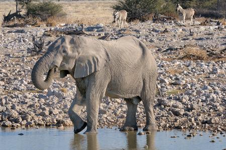 equid: Elephant and zebras at Okaukeujo in the Etosha National Park, Namibia