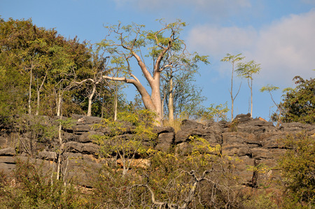 Moringa tree at Halali in Etosha National Park, Namibia Reklamní fotografie - 27943038
