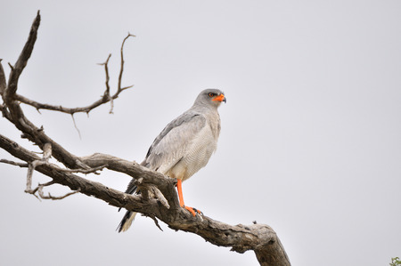 Southern Pale Chanting Goshawk, Melierax canorus, Kgalagadi Transfrontier Park, South Africa Stock Photo
