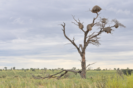 Dead tree with Sociable Weaver community nests
