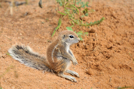 cape ground squirrel: Cape Ground Squirrel  Xerus Inauris   Photo taken at Mata Mata in the Kgalagadi Transfrontier Park, South Africa