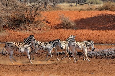 equid: Zebras running, Mokala National Park, South Africa Stock Photo