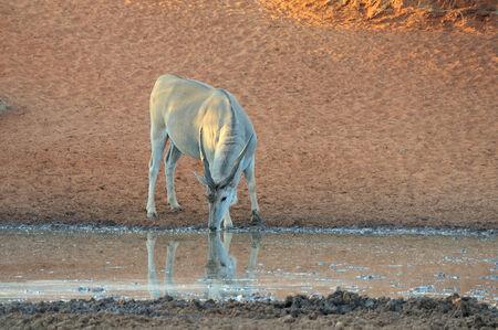 pozo de agua: Eland en el Haak-en-Steek Abrevadero, Parque Nacional Mokala, Sud�frica