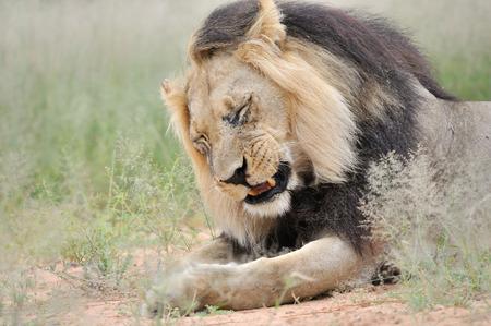 kgalagadi: Male lion in the Kgalagadi Transfrontier Park