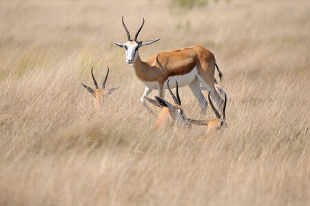 marsupialis: Springbok lying in the the grass to shelter from cold wind, Etosha National Park, Namibia