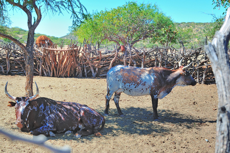 Two Nguni cattle in an Ovahimba kraal