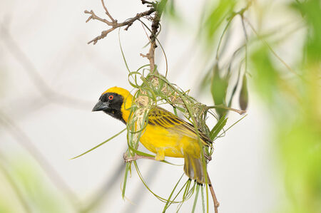 weaver bird nest: Male Southern Masked Weaver building his nest using strips of palm leaf Stock Photo