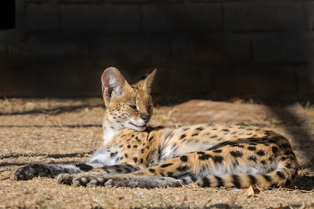 The Serval, Leptailurus serval, is a nocturnal cat occurring widespread in Africa Stock Photo