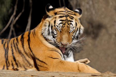 panthera tigris: Tiger, Panthera tigris, las mayores especies de felinos Foto de archivo