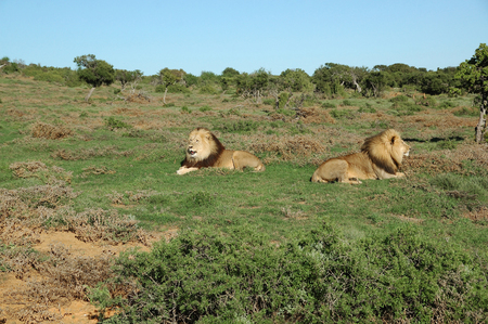 contractual: Two Kalahari lions in the Kuzuko contractual area of the Addo Elephant National Park in South Africa