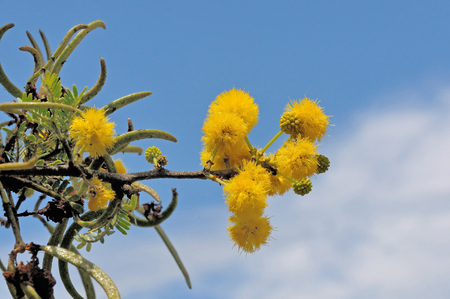 Sweet Thorn tree, Acacia karroo, common in drier parts of Southern Africa Reklamní fotografie - 31730094