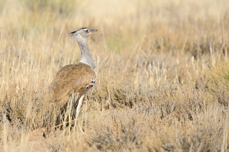 kgalagadi: Kori Bustard in the Kgalagadi Transfrontier Park, South Africa. It is the biggest bird capable of flying