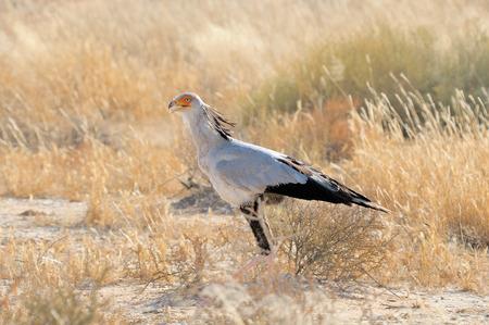 kgalagadi: Secretary Bird, Sagittarius serpentarius, Kgalagadi Transfrontier Park, South Africa Stock Photo