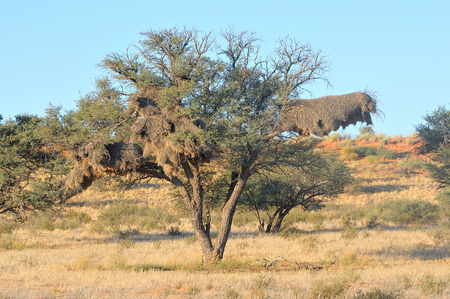 Camelthorn Tree with Sociable Weaver community nest