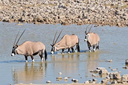 Oryx in the water, Okaukeujo waterhole, Etosha National Park, Namibia Stok Fotoğraf - 31828978