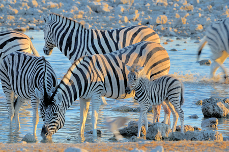 equid: Zebras drinking water at sunset. Zebra mother and foal