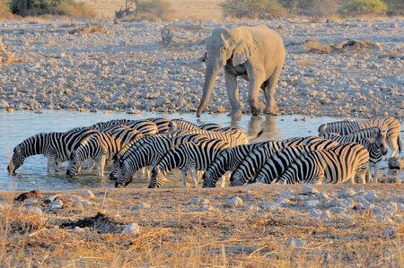 caballo bebe: Elefante y cebras en Okaukeujo en el Parque Nacional de Etosha, Namibia