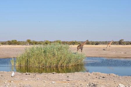 waterhole: Giraffes at Chudop waterhole with it