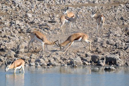 Springbok rams fighting at Okaukeujo in the Etosha National Park