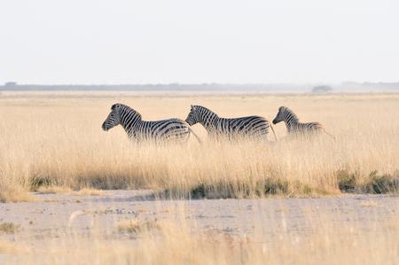 equid: Zebras running at the Etosha Pan in Etosha National Park, Namibia