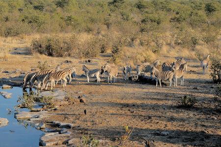 caballo bebe: Zebra agua potable reba�o, Moringa pozo de agua, el Parque Nacional de Etosha, Namibia