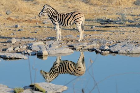 pozo de agua: Zebra reflexión en Moringa pozo de agua, el Parque Nacional de Etosha, Namibia